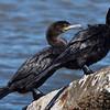 Two Cormorant.
