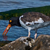 Oystercatcher doing that for which he was named.