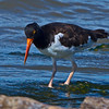 Note the shell fish just the surface beneath the Oystercatcher's feet and behind.