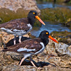 Two Oystercatchers.