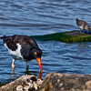 """He'll never say he has had """"A belly full of it.""""  Oystercatcher has snagged another."""