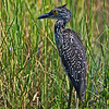 "Immature Yellow-crowned Night Heron.  <a href=""http://en.wikipedia.org/wiki/Yellow-crowned_Night_Heron"">http://en.wikipedia.org/wiki/Yellow-crowned_Night_Heron</a>"