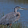 "Adult Great Blue Heron.   <a href=""http://en.wikipedia.org/wiki/Great_Blue_Heron"">http://en.wikipedia.org/wiki/Great_Blue_Heron</a>"