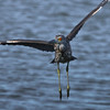 "Immature Yellow-crowned Night Heron in flight.  <a href=""http://en.wikipedia.org/wiki/Yellow-crowned_Night_Heron"">http://en.wikipedia.org/wiki/Yellow-crowned_Night_Heron</a>"