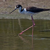 "Backlit Black-neck Stilt. Backlit high and from the left  <a href=""http://en.wikipedia.org/wiki/Black-necked_Stilt"">http://en.wikipedia.org/wiki/Black-necked_Stilt</a>"