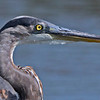 "Adult Great Blue Heron Portrait which is a 6% crop of the full-frame photo..   <a href=""http://en.wikipedia.org/wiki/Great_Blue_Heron"">http://en.wikipedia.org/wiki/Great_Blue_Heron</a>"