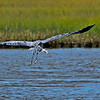 "Great Blue Heron in flight along Sportsman Rd. on west end of Galveston Island.  <a href=""http://en.wikipedia.org/wiki/Great_Blue_Heron"">http://en.wikipedia.org/wiki/Great_Blue_Heron</a>"
