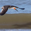 Black Skimmer  in flight.  But who will win the race.....only the shadow knows.