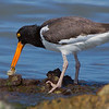 Oystercatcher having just removed an oyster from its shell.  Shot from about 30 to 35 yards away.