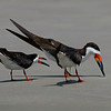 Black Skimmers on beach at Texas City Dike.