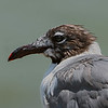 Laughing Gull portrait.