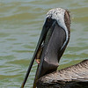 "Brown Pelican maintaining its spot at the dike fish cleaning station.  Shot with the new ""G' Master Series lens, FE 100-400mm/4.0-5.6."