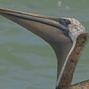 Brown Pelican portrait.  Shot with Sony ILCE_A7Rm2 body and Tamron 150-600/5.0-6.3 Mark II lens.