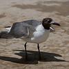 Laughing Gull on beach at Texas City Dike.