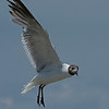 Laughing Gull in flight.