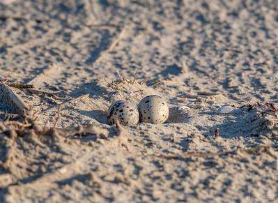 Least Tern nest & eggs
