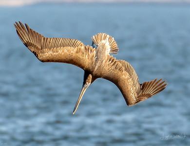 Dive bombing Pelican!