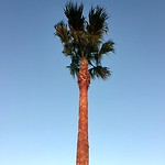 Towering Palm Tree against a clear blue sky