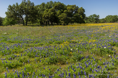 Willow City Loop Bluebonnets and others?