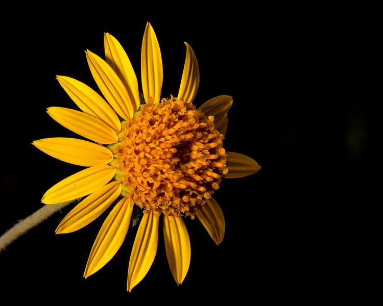 Awnless bush sunflower (Simsia calva)