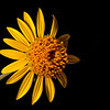 Awnless bush sunflower (Simsia calva)