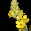 Common mullen (Verbascum thapsus)