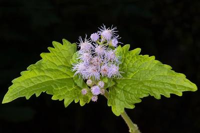 Blue mistflower (Conoclinium coelestinum)