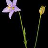 Cut-leaf gilia (Gilia incisa)