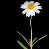 Blackfoot daisy