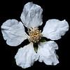 Dewberry (Rubus trivialis)