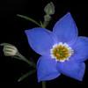 Bluebowls (Giliastrum rigidulum)