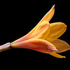Copper rain lily (Habranthus tubispathus)
