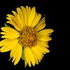 Cowpen daisy (Verbesina encelioides)