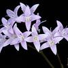 Diamondflowers (Stenaria nigricans var. nigricans)