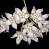 Climbing milkweed (Funastrum cynanchoides)