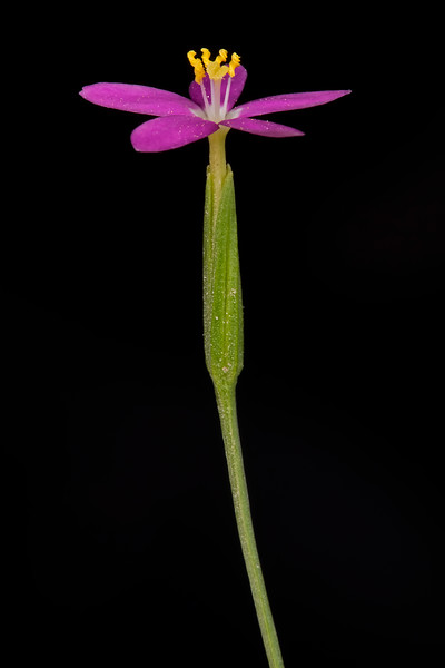Lady Bird's centaury