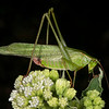 Frostweed with Texas katydid