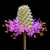 Compact prairie clover