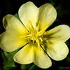 Cut-leaf primrose