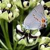 Antelope-horns milkweed with gray hairstreak