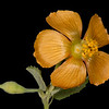 Texas Indian mallow