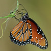 Cynanchum laeve with Danaus gilippus