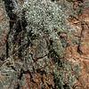 Granite Mountain wild buckwheat