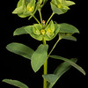 Reticulate-seeded spurge