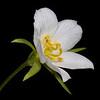 Rose gentian (white)