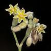Longleaf buckwheat