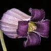 Purple leatherflower