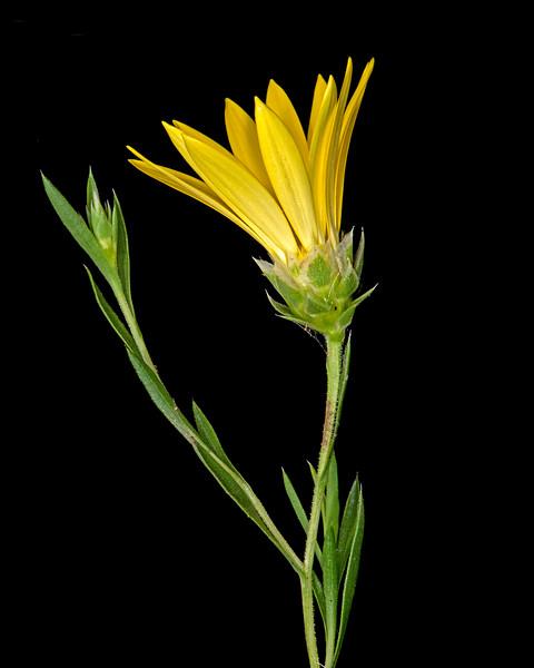 Texas sleepy daisy