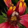 Firewheel with painted Schinia caterpillar