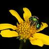 Plateau goldeneye with green sweatbee